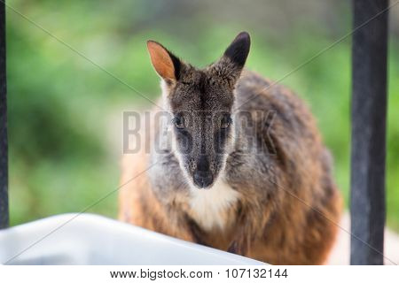 Swamp Wallaby (wallabia Bicolor), Also Known As The Black Wallaby. Wildlife Animal.