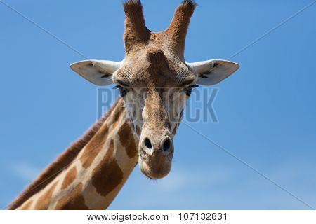 Portrait of a curious giraffe (Giraffa camelopardalis) over blue sky with white clouds in wildlife sanctuary. Australi.