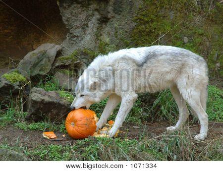 Wolf Tearing Pumpkin