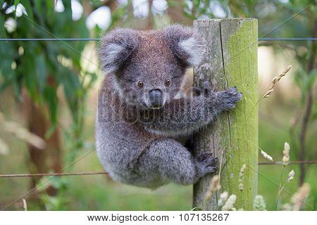 Australian Baby Koala Bear. Koala Bear in zoo.