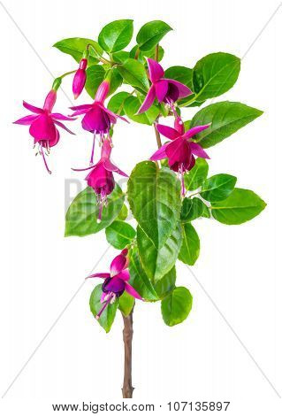 Blooming Red Fuchsia Flower Is Isolated On White Background, Closeup