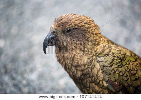 Endemic New Zealand Alpine Parrot Kea, Nestor Notabilis, Sitting On A Parked Vehicle.
