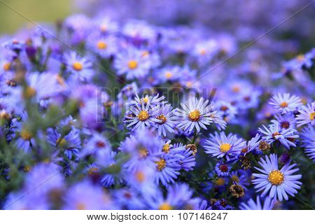 Small Purple Asters Wildflowers Background
