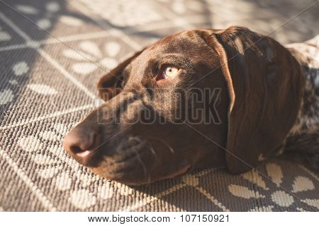 Adorable German Pointer relaxing on carpet at home