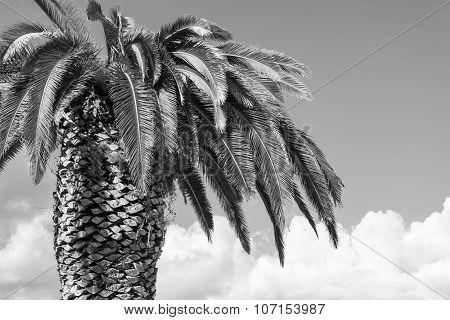 One Big Palm Tree Of Monochrome Tone
