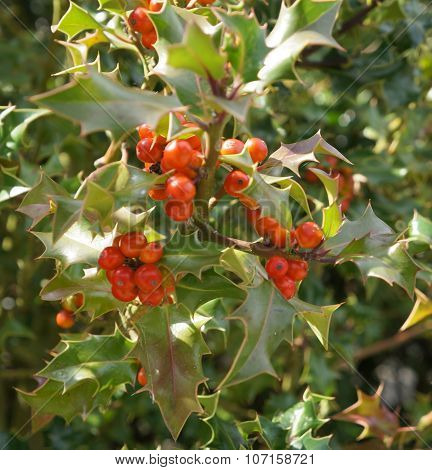 Save Download Preview Ilex aquifolium with red berries