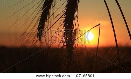 Golden ears of wheat on the field in sunlight. Macro image