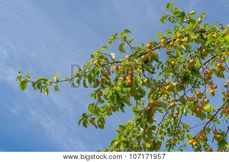 Branch with ripe organic apples