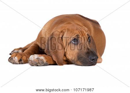 adorable rhodesian ridgeback puppy lying down
