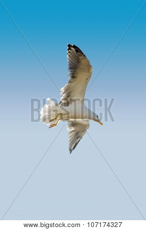 Single Seagull flying in blue clear sky