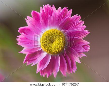 Bright pink and yellow everlasting Australian wildflower