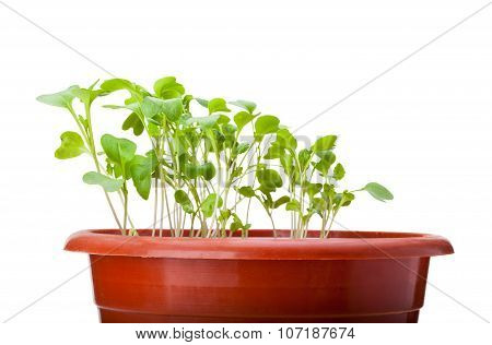Green Cabbage Sprouts Growing In Red Pot