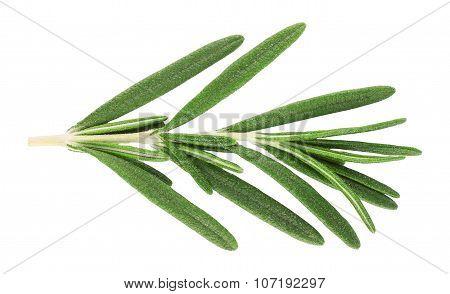 Sprig Of Fresh Rosemary Isolated On White