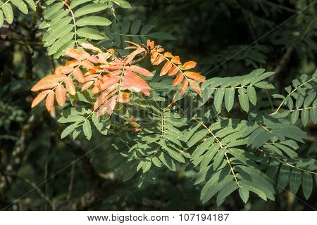 Mountain Ash Leaves: One Red And Some Green.