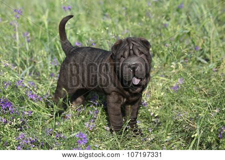 Adorable Sharpei With Purple Flowers
