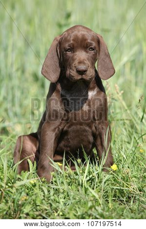 Beautiful Puppy Od German Shorthaired Pointer