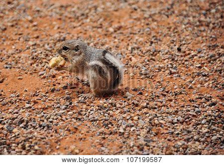 desert squirrel