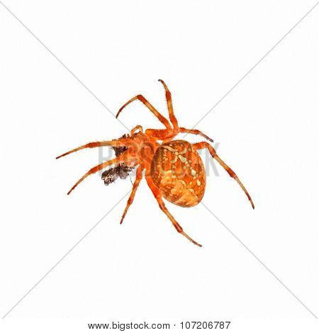 Cross Spider Isolated