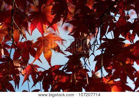Colorful Autumn Leaf Season In Japan