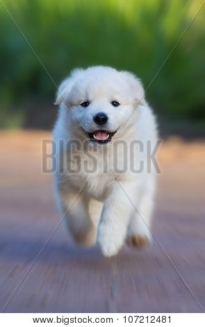 White puppy of mix breed in one and a half months old. This white mixed breed's parents have been a Labrador Retriever and a Samoyed Dog. The effect of radial blur was used.