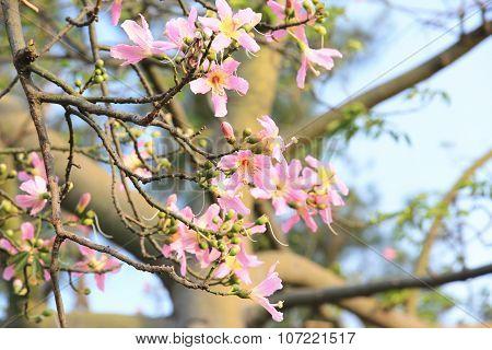Bauhinia flowers,Redbud flowers