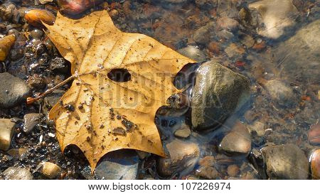Dried Sycamore Leaf Floating in a River. River Stones.