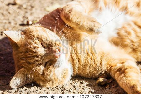 Red Hair Cat In Outdoors