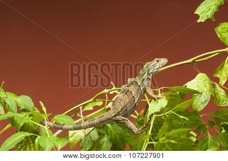 Young Black Spiny-tailed Iguana
