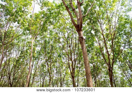 Rubber Tree In Thailand
