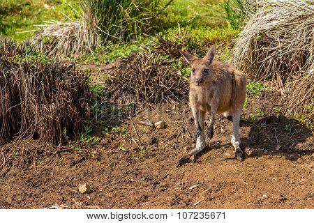 Red Australian Kangaroo
