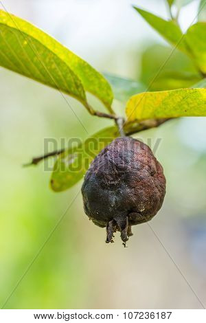 Rotten Guava Fruit