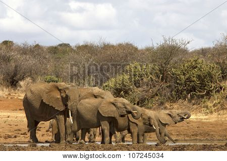 Herd African Elephants drinking at river