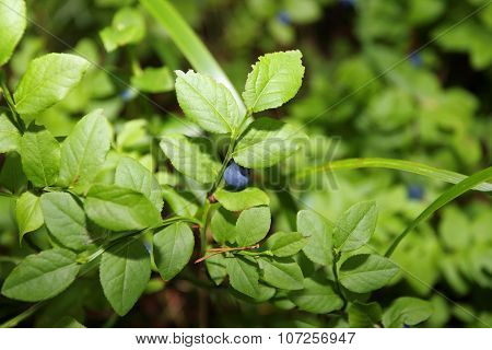 Fresh Blueberry Among Green Leaves In Summer Forest. Close Up View