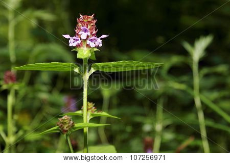 Small Purple Wild Flower Among Green Grass In Summer Forest At Sunny Day