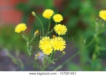 Simple Yellow Wild Flowers Among Green Grass At Summer. Shallow Dof