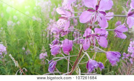 Fireweed (epilobium Angustifolium) In Bloom