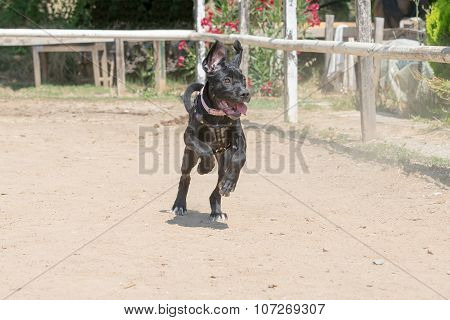 Baby cane corso  running at a horse arena.