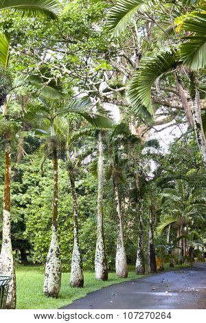 Bottle palm trees lane (Hyophorbe). Mauritius