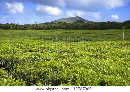 Tea plantation in the foothills. Mauritius