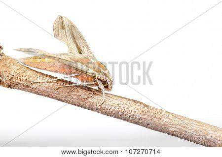 Giant Arum Hawk Moth
