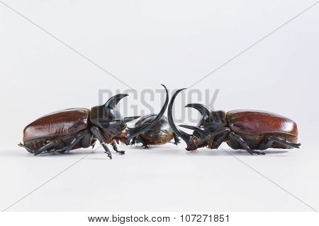 Uncommon and rare stuffing five horns beetles remains  on white background which beetle male normall