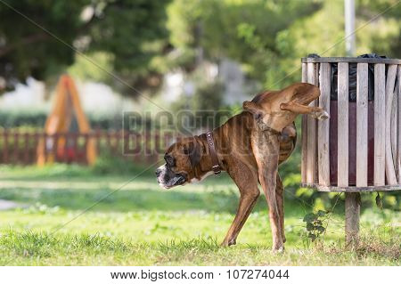 Big dog boxer peeing in a park.