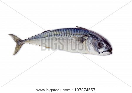 Raw Atlantic Mackerel On A Light Background
