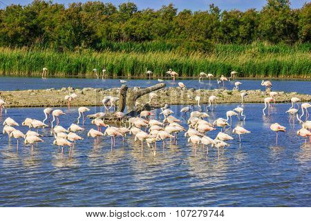 Sunset in the Camargue national park. Rhone Delta, Provence, France. Flock of adorable pink flamingos. Exotic birds sleeping in a shallow lake