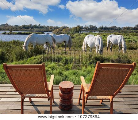 Herd of white horses grazing in a meadow near the lake. Summer evening in the Camargue national park. Rhone Delta, Provence. Sunbeds for observing animals