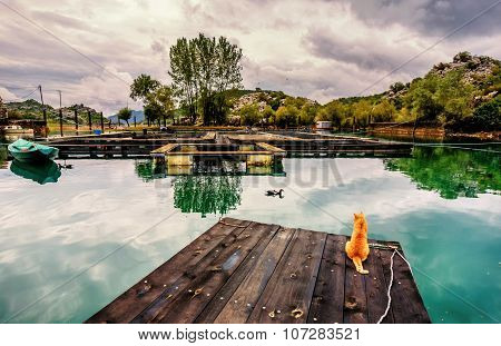 Yellow Cat Watching Ducks Go By  The Fish Farm In Karuc, Skadar Lake, Montenegro