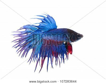 siamese fighting fish betta on white background.(Thailand)