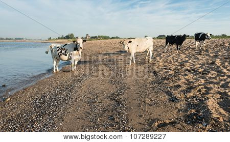 Cows On A Sandy River Beach