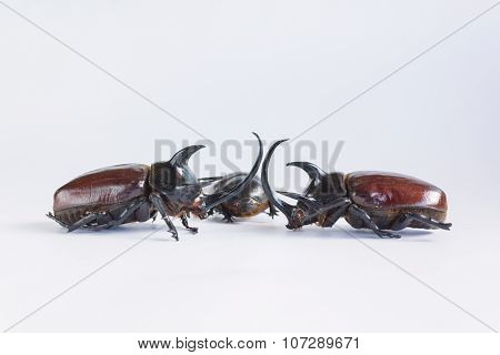 Uncommon and rare stuffing five horns beetles remains  on white background which beetle male normal