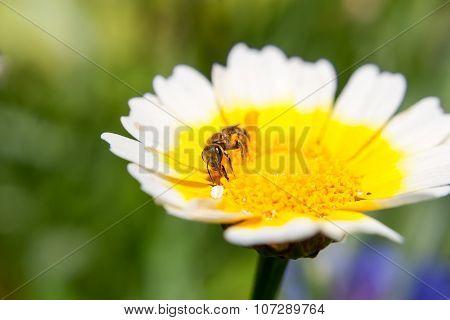 Little Bee On A Nice Flower Shallow Dept Of Field